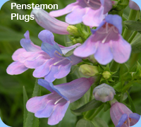 Penstemon Plugs - Penstemon Heavenly Blue